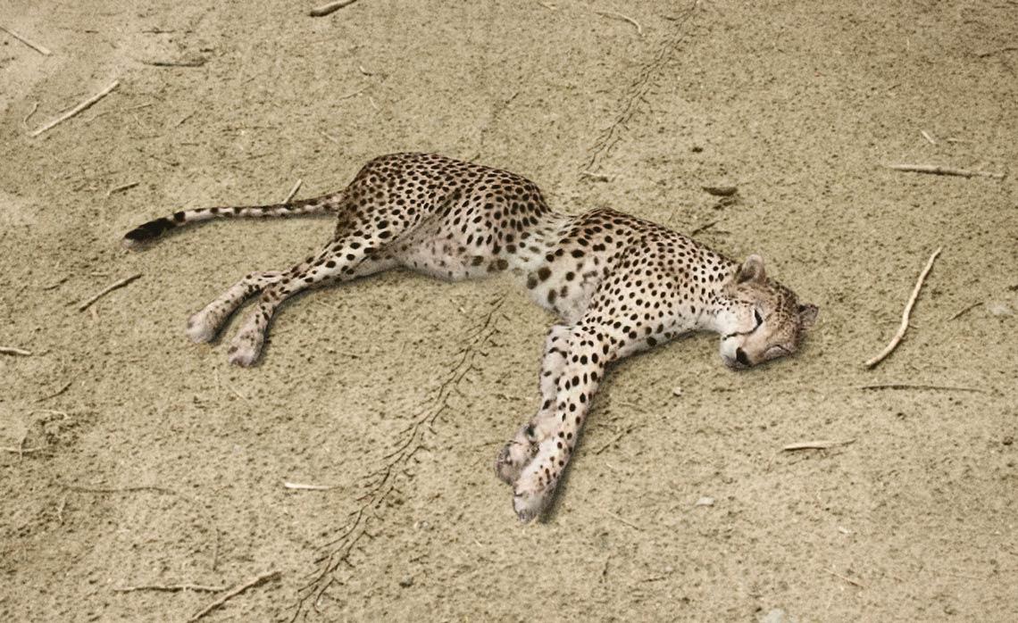 Vespa_Cheetah