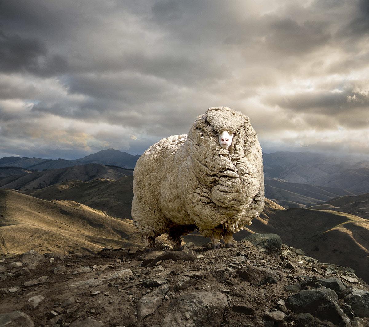 Skoda_SheepTall